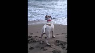 English Bulldog Mix Boxer In The Beach