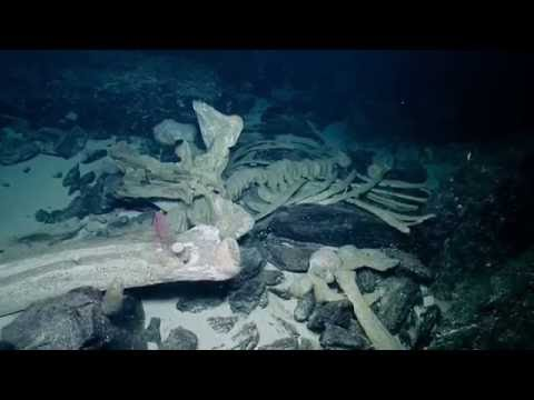 Observing a Natural Whale Fall | Nautilus Live