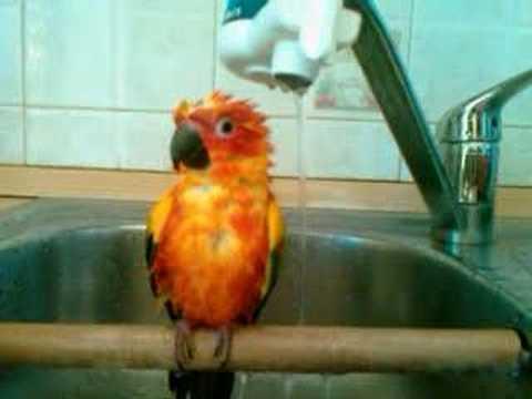 Birbo pappagallo conuro del sole fa il bagno youtube - Bagno i figli del sole cervia ...