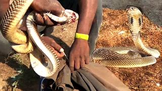 Cobra pearl from head | Naga mani real stone | Cobra stone Nagamani | Viper's stones Snake