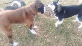 APBT vs Husky siberiano vs San Bernardo