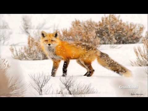 The Red Fox: Natural History and Wildlife Biology
