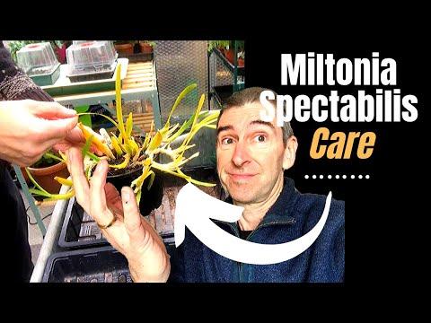 miltonia-spectabilis-care-&-a-greenhouse-update