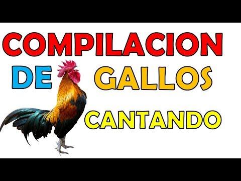 GALLOS CANTANDO varias razas COMPILACION -sonidos gallos rooster compilation