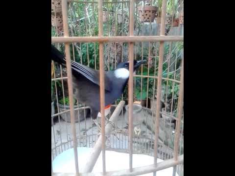 Tiếng chim khiếu hay