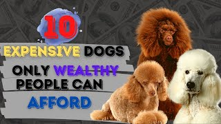 10 expensive dogs only wealthy people can afford