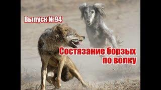Состязание борзых по волку на Украине