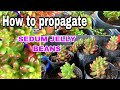 How to propagate and plant Sedum Jelly beans: Filipina life in Australia