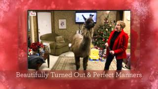 """Keeper"" the Llama & Mari Joy Miller on Christmas Day Visit"