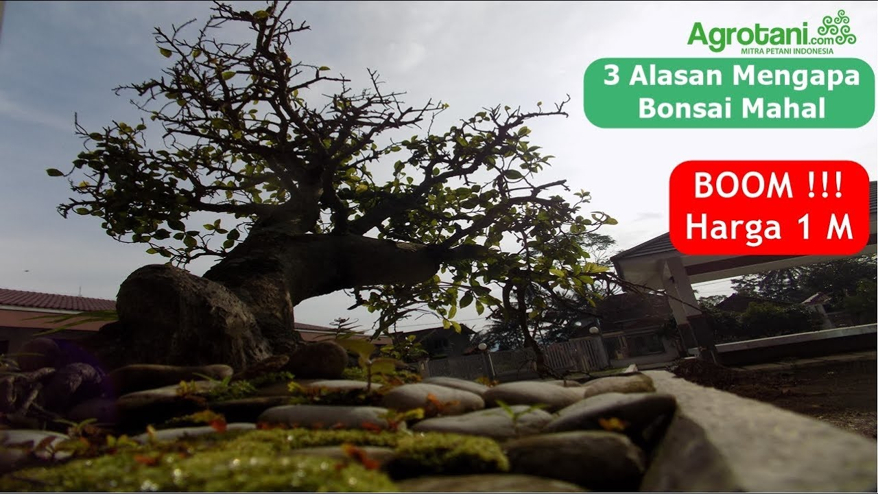3 Alasan Mengapa Bonsai Mahal Boom Harga 1 M Youtube
