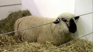 Jeune bélier Hampshire et agnelles Texel au salon de l'agriculture 2013