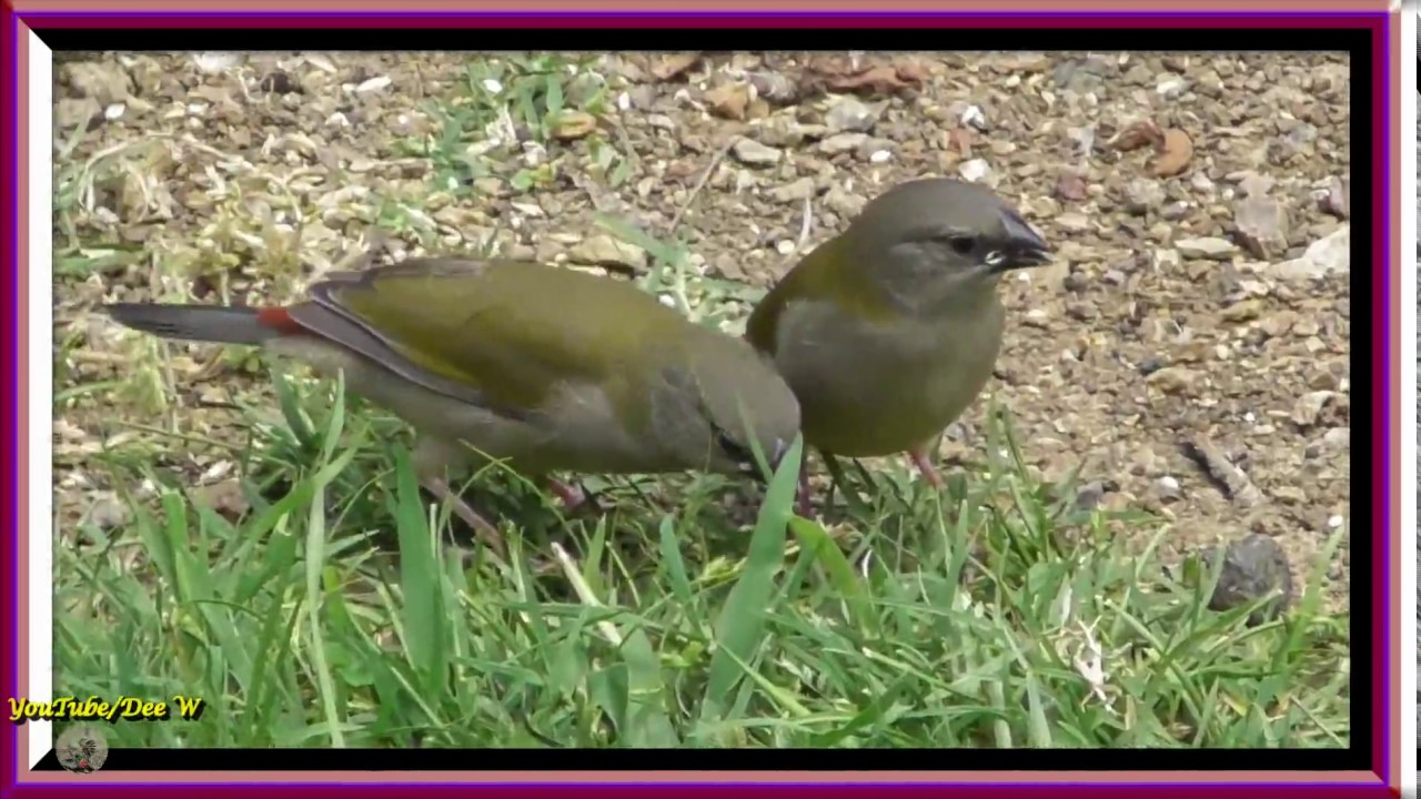 red browed finches bird watching in my backyard youtube