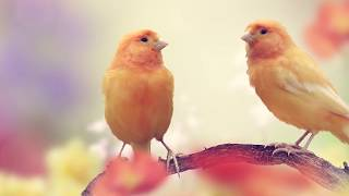 Peaceful music, Relaxing music, Instrumental music, 'Meadow Songbirds' by Tim Janis