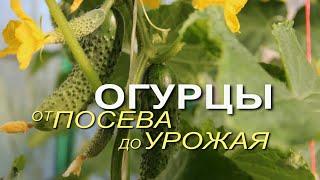 Основные этапы выращивания ОГУРЦОВ от посева до урожая! Советы от ЗЕЛЕНОГО ОГОРОДА!