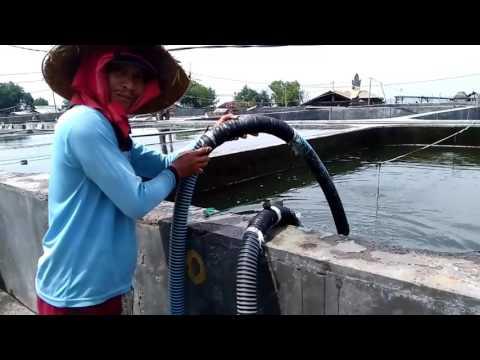 Aquaculture, Milkfish Seeds Production, Nener Bandeng, Bangus
