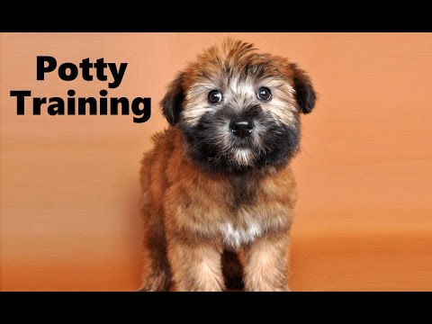 How To Potty Train A Soft Coated Wheaten Terrier Puppy ...