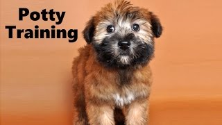 How To Potty Train A Soft Coated Wheaten Terrier Puppy - Irish Soft Coated Wheaten Terrier Puppies