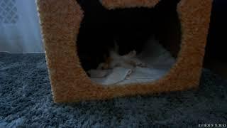 Жизнь котёнка породы экзот