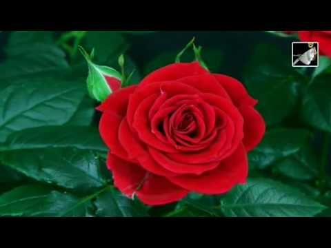 English Rose with lyrics