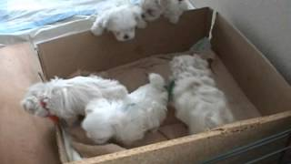 Maltese Puppies Playing