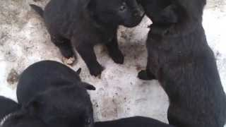 щенки Чернухи