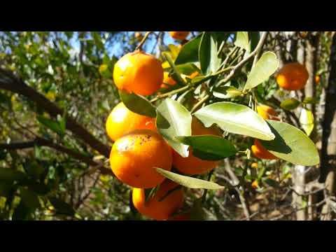 Orange garden Nepal / Balthali social Homestay orange farm / Balthali /