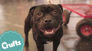 Best Of Breed - Staffordshire Bull Terrier And Winner's Interview | Crufts 2015