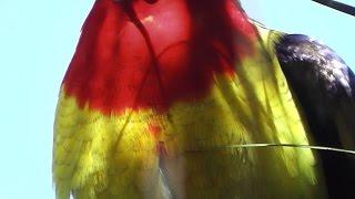 Eastern Rosella Eating Acacia saligna Blooms (•▽•)ლ(•‿•✿)