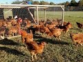 How to Build a Pasture Chicken Pen