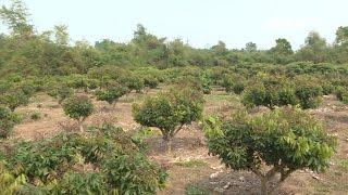 (VTC14)_Vì sao gần chục ha cây ăn quả ở Thái Nguyên bị phá hoại?