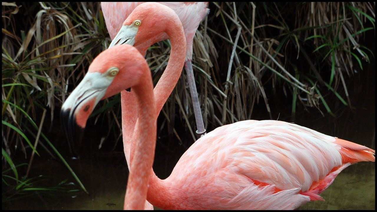 pink flamingos phoenicopterus ruber youtube