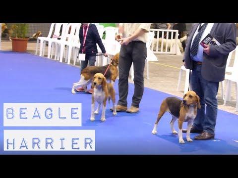 Sélection BeagleHarrier (Dimanche) _ Championnat de France du Chien de Race (Nantes)