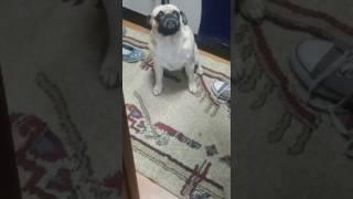 Собака поела какашки