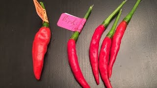 What's That Pepper Ep20 - Scotch Bonnet Yellow x Thai Birds Eye F1