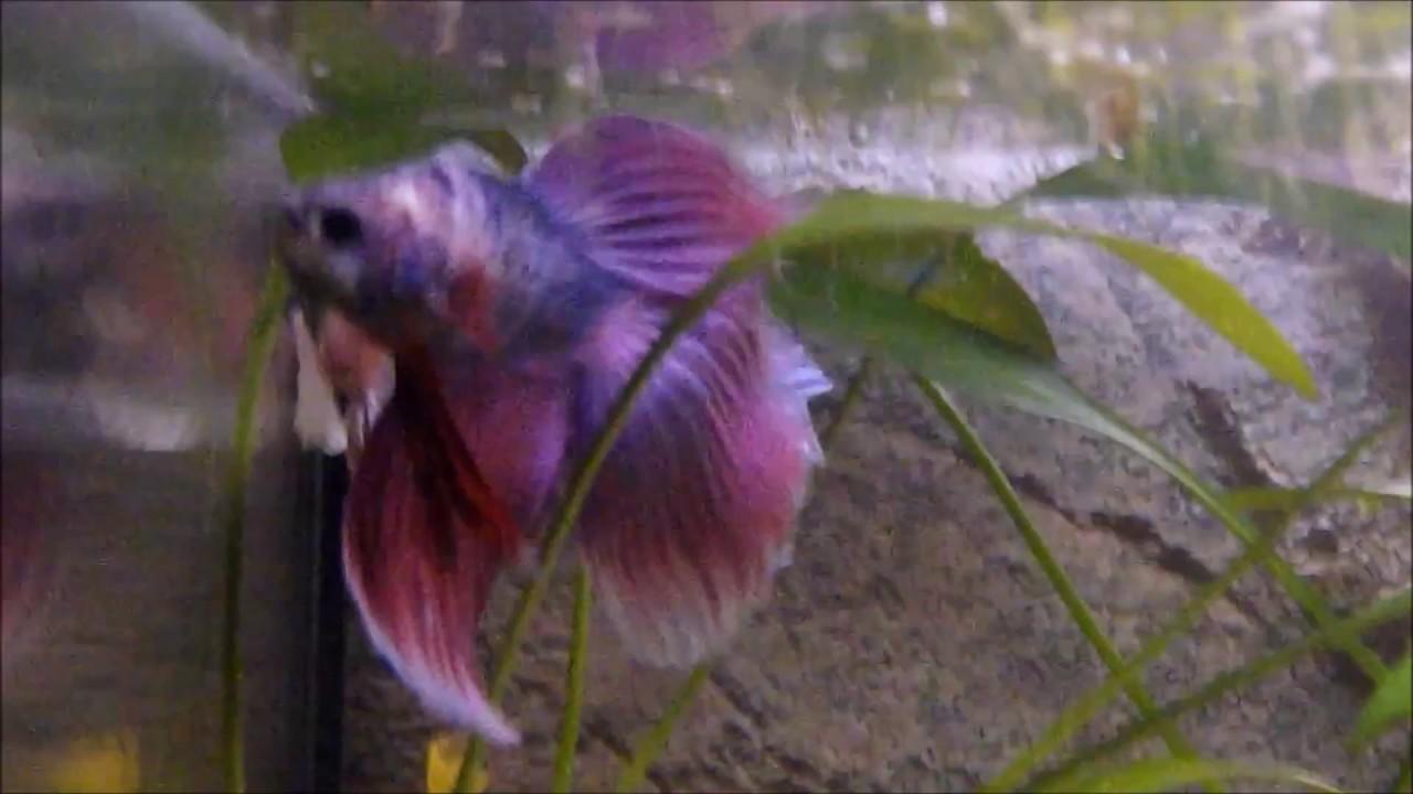 Betta splendens kampffisch pink beim balzen mit ein pink for Kampffisch betta