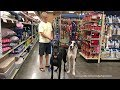 Great Danes Have Fun In The Toy Aisle at the Pet Store