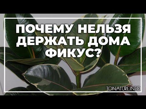 Почему нельзя держать дома фикус? | toNature.Info