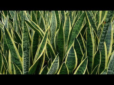 how to grow and care snake plant best house plant youtube. Black Bedroom Furniture Sets. Home Design Ideas