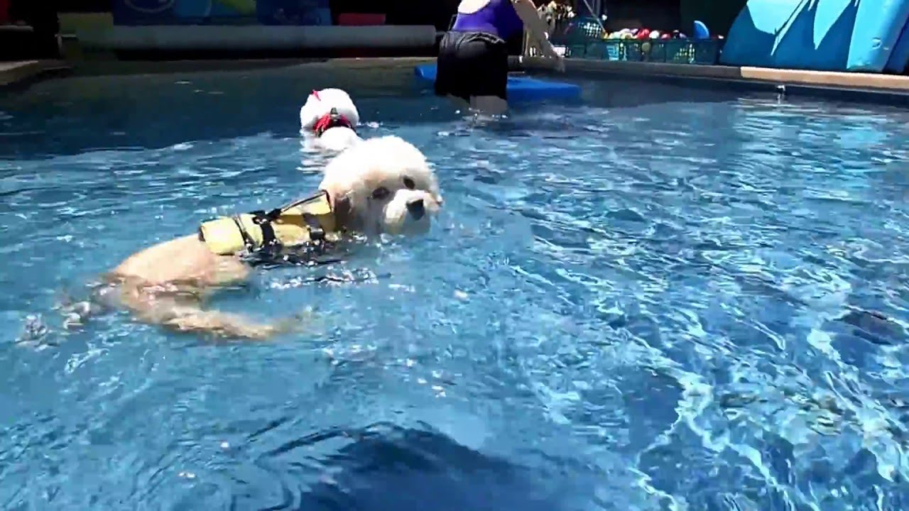 Bichon frises gabby big al play with his favorite for Chicken in swimming pool