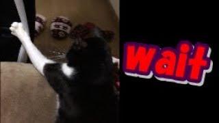 待て!飼い主を引き止める猫 Owner there, wait a moment! 【可愛いネコ】 thumbnail