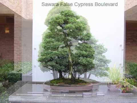 Chicago Botanic Garden Bonsai Trees Wmv
