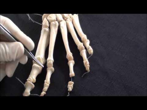 Human Anatomy video: Foot skeleton - Part 1