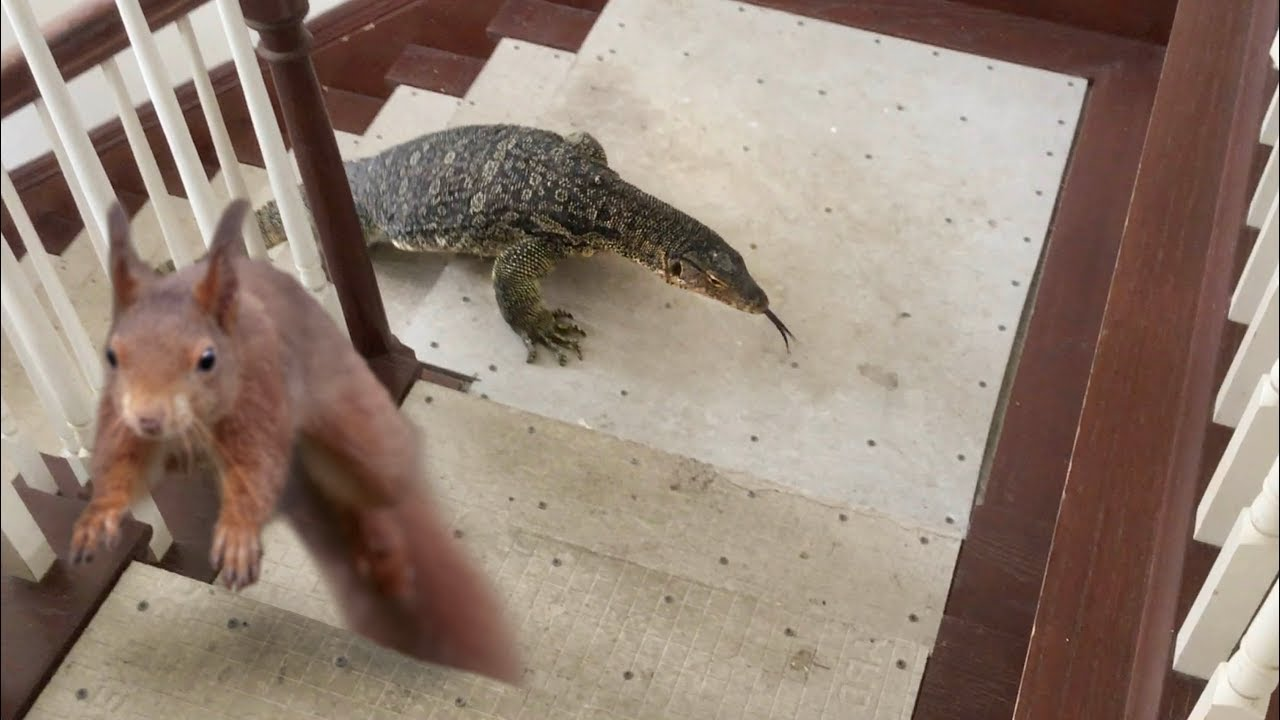Squirrel in House--Lizard goes after Squirrel, then Eats It