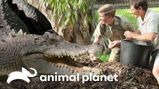 ¡Robert roba el nido del cocodrilo!   Los Irwin   Animal Planet