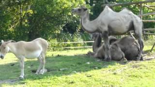 Camels & Donkey in Zoo Opole - Wielbłądy i Osioł w Zoo Opole