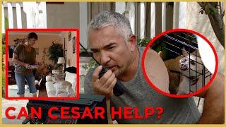 HAS CESAR MET HIS MATCH PART 2 (Aggressive Dog) \ Cesar911 Shorts