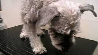http://www.doggies.tv シャンプー・カットがとても慣れているゴンゾー...