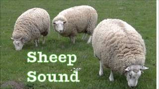 Sheep sound