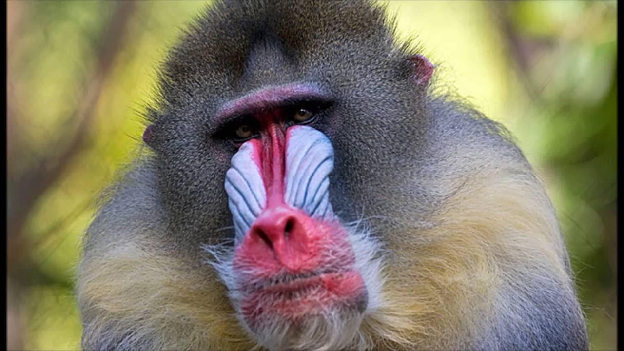 MONO (Caractersticas, Tipos de Monos. - t) 95