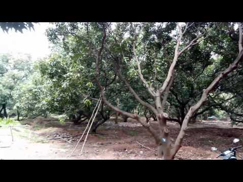 Green care organic farm mangoe trees